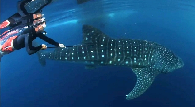 whale_shark_eric_hoffmayer